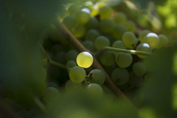Domaine-Famille-Bourgeois-Grain de raisin