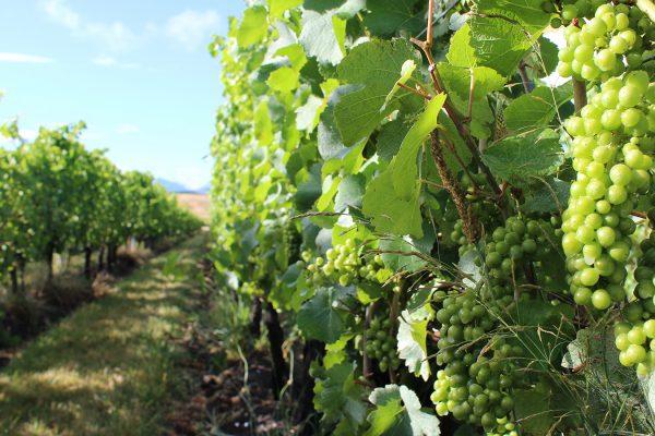 Bel-Echo-SB-Clos-Henri-NZ-Viticulture-et-Terroir
